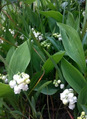 Lilly of the valley 3